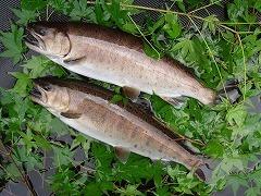鮮魚 尺ヤマメ500g級×2尾