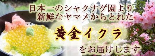 日本一のシャクナゲ園より新鮮なヤマメからとれた黄金イクラをお届けします